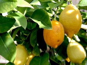 citrus-limon